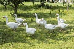 Белые гусыни пася в саде Стоковое Изображение