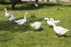 Белые гусыни пася в саде Стоковое Фото