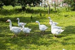 Белые гусыни пася в саде Стоковые Изображения