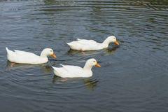 Белые гусыни плавая в пруде Стоковые Изображения