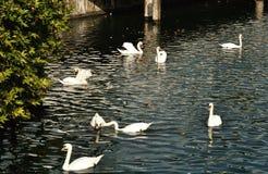 Белые гусыни плавая в реке Limmat в Цюрихе, Швейцарии Стоковая Фотография