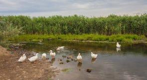 Белые гусыни плавая на пруде Стоковая Фотография