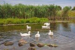 Белые гусыни плавая на пруде Стоковое Изображение RF