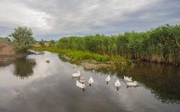 Белые гусыни плавая на пруде Стоковое Фото