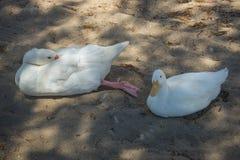 Белые гусыня и утка на песчаном пляже Стоковые Фото