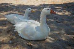 Белые гусыня и утка на песчаном пляже Стоковые Изображения RF