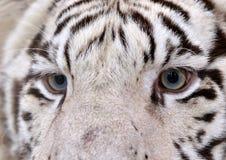 Белые глаза тигра Бенгалии Стоковая Фотография