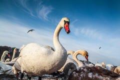 Белые лебеди в холодной зиме Стоковое Изображение