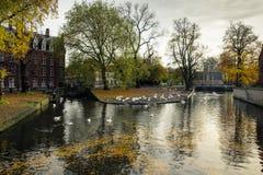 Белые лебеди в Minnewater паркуют в Брюгге, Бельгии стоковое изображение rf