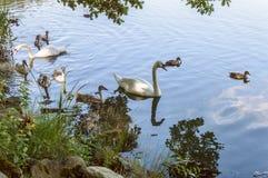 Белые лебеди и коричневые утки двигая в стадо Стоковые Изображения RF