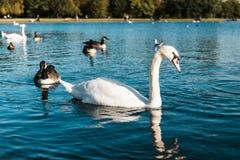Белые лебеди и коричневые утки Стоковое Изображение