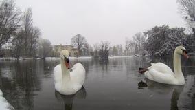 Белые лебеди - красивый падать снега акции видеоматериалы
