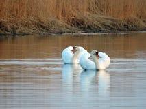 Белые лебеди, Литва Стоковая Фотография RF