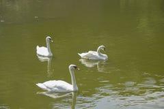 Белые лебеди на озере Стоковое Изображение