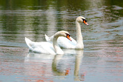 Белые лебеди на озере Стоковая Фотография RF