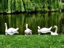 Белые лебеди на пруде Стоковые Фотографии RF
