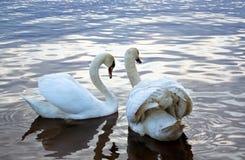 Белые лебеди на пруде Стоковая Фотография