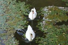 Белые лебеди плавая в озере Стоковая Фотография RF