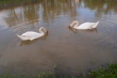 Белые лебеди плавая в озере Стоковые Фото