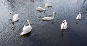 Белые лебеди плавая в реке стоковое фото