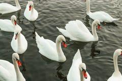 Белые лебеди плавая на воду стоковое изображение