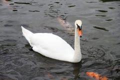 Белые лебедь и карп удят на пруде. Стоковое Изображение RF