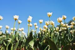 Белые декоративные тюльпаны на поле цветка Стоковое Изображение RF