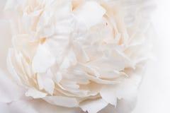 Белые лепестки крупный план пиона, лето цветут съемка макроса Естественный t Стоковое Изображение