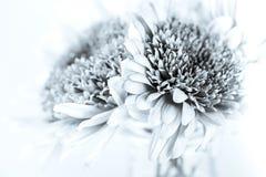 Белые лепестки хризантемы Стоковые Изображения RF