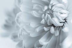 Белые лепестки хризантемы Стоковая Фотография