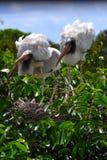 Белые деревянные аисты в гнезде Стоковая Фотография