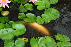 Белые застенчивые рыбы в пруде с пусковыми площадками лилии Стоковое Изображение
