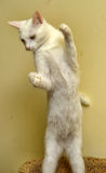 Белые игры котенка Стоковые Изображения