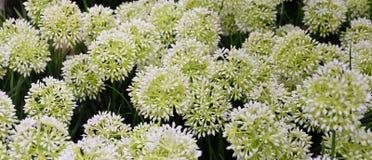 Белые искусственные гигантские цветок лука или лукабатун Giganteum Стоковые Изображения RF