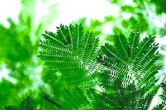 Белые лист popinac Стоковая Фотография RF