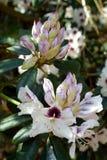 Белые и бургундские цветки рододендрона Стоковая Фотография RF