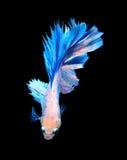 Белые и голубые сиамские воюя рыбы, рыбы betta изолированные на bla Стоковое Изображение