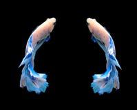 Белые и голубые сиамские воюя рыбы, рыбы betta изолированные на bla Стоковые Фото