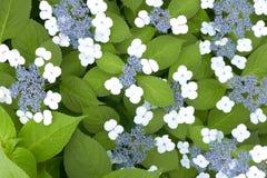 Белые и голубые цветки с зелеными листьями Стоковая Фотография