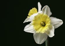 Белые и желтые изолированные Daffodils Стоковое Изображение