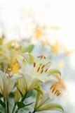 белые и желтые лилии на белой предпосылке Стоковое Изображение