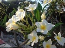 Белые и желтые красоты стоковая фотография rf
