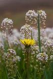Белые и желтые цветки в луге Стоковая Фотография
