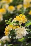Белые и желтые цветки lantana Стоковая Фотография