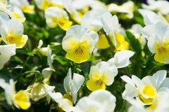 Белые и желтые цветки Pansy Стоковая Фотография