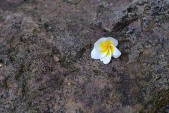 Белые и желтые цветки plumeria упаденные на камень предпосылки Стоковые Фотографии RF