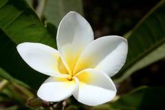 Белые и желтые цветки plumeria Стоковые Изображения