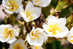 Белые и желтые цветки plumeria Стоковые Фотографии RF