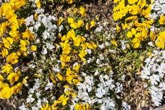 Белые и желтые pansies в саде, естественной предпосылке Стоковые Фото