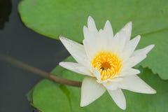 Белые лилии зацветают над водой стоковая фотография rf